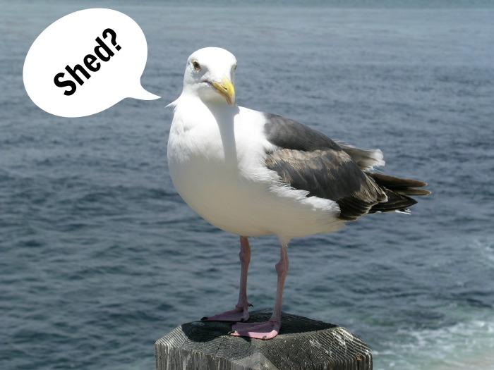 shedbird